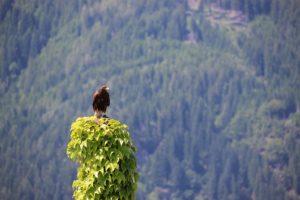 Greifvogelschau Landskron